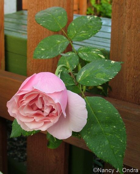 Rosa 'Verschuren'