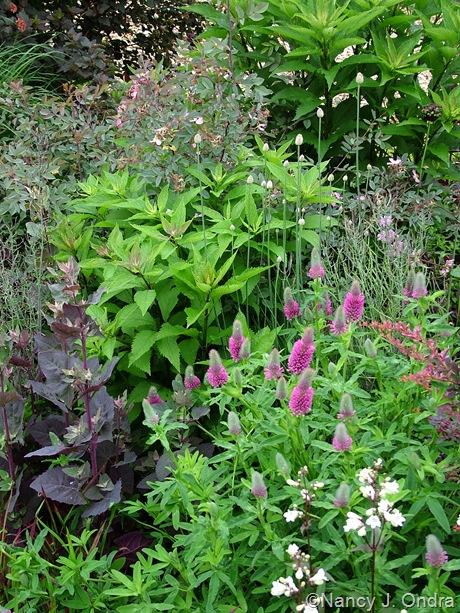 Trifolium rubens with Atriplex hortensis 'Rubra', Eupatorium maculatum, Rosa glauca, and Allium sphaerocephalon