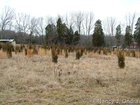 Juniperus virginiana in meadow at Hayefield