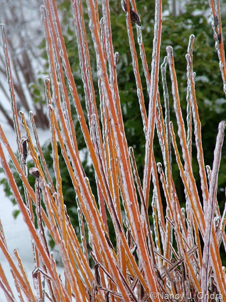 Salix alba 'Chermesina' [January 18, 2011]