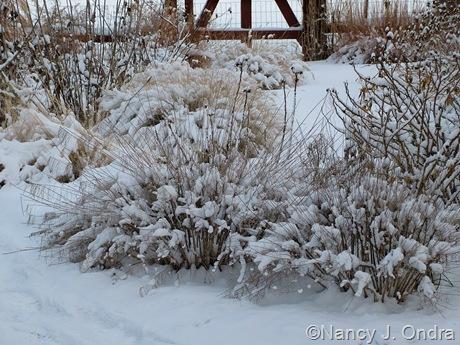 Amsonia hubrichtii in snow [February 4, 2009]