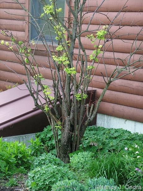 Sambucus racemosa 'Sutherland Gold' [April 21 2010]