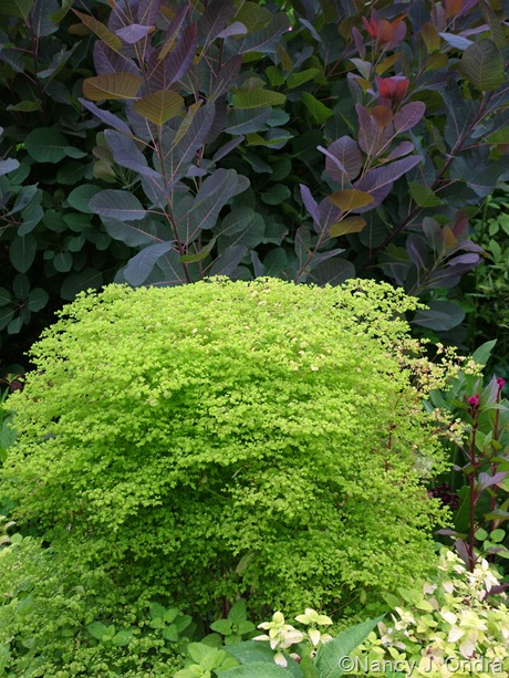 Cotinus 'Grace' behind Euphorbia 'Golden Foam' [July 12, 2010]