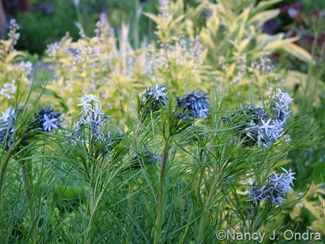 Amsonia hubrichtii in front of Deutzia gracilis 'Duncan' (Chardonnay Pearls) [May 13, 2009]