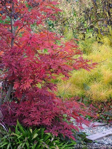 Amsonia hubrichtii with Acer palmatum and Carex plantaginea [October 25, 2009]