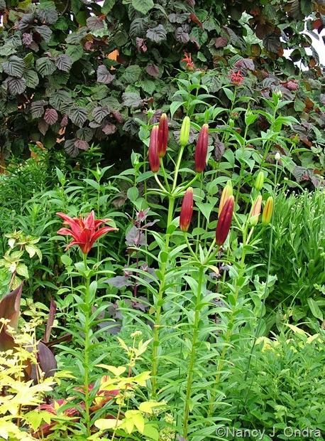 Lilium 'Monte Negro' with Filipendula ulmaria 'Aurea', Monarda 'Jacob Cline', and Corylus avellana 'Red Majestic'