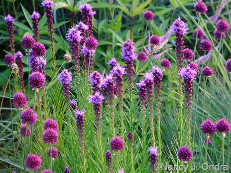 Allium sphaerocephalon with Liatris spicata July 2011