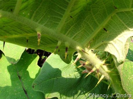 Solanum quitoense October 5 2008