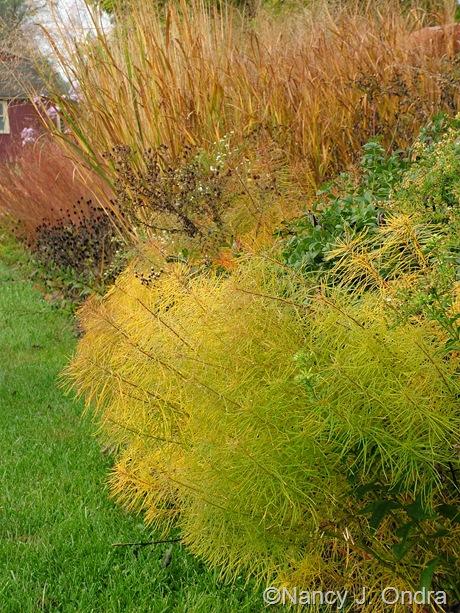 Amsonia hubrichtii in fall color with Panicum virgatum Oct 2011
