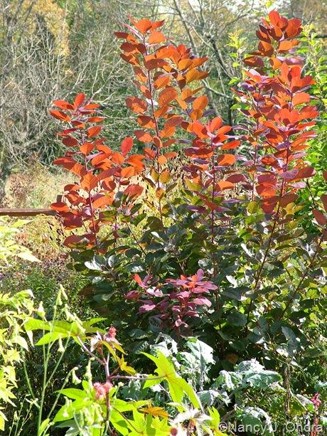 Cotinus 'Grace' Oct 2011
