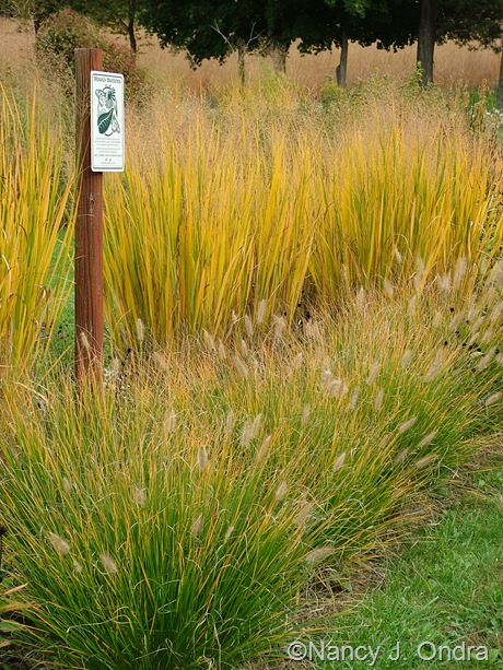 Panicum virgatum 'Northwind' with Pennisetum alopecuroides 'Cassian' Oct 2011