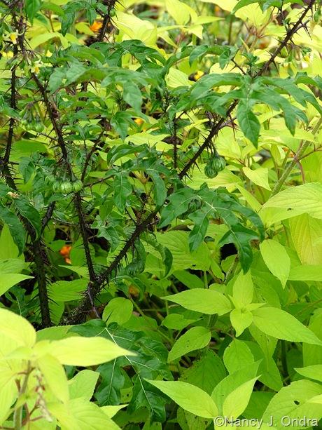 Solanum atropurpureum Oct 13 2011