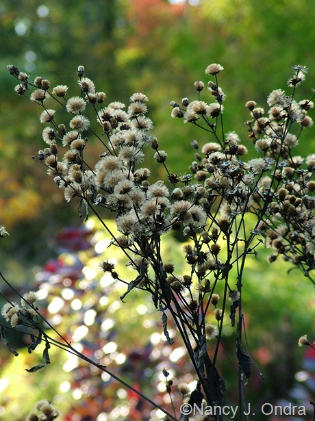 Veronicastrum virginicum in seed Oct 2011
