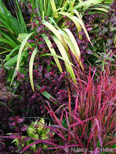 Hypoestes 'Splash Select Red' with Imperata cylindrica 'Rubra' and Iris 'Gerald Darby'