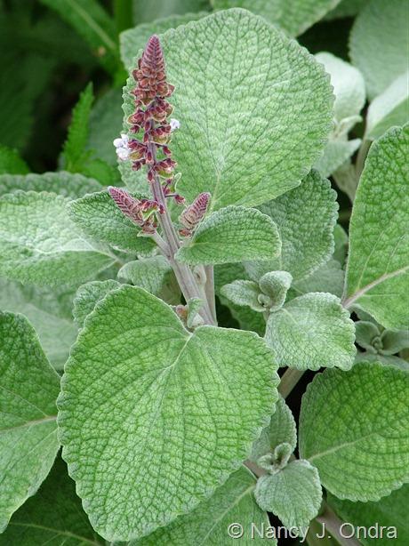 Plectanthus argentatus