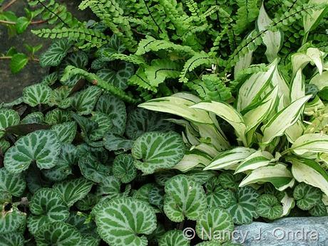 Viola koreana (Viola grypoceras var. exilis) with Hosta venusta 'Masquerade' and Asplenium platyneuron [Cady's Falls]