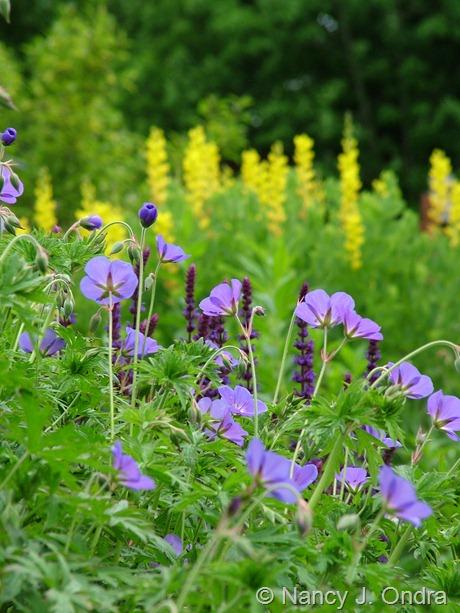 Geranium 'Brookside' with Salvia 'Caradonna' against Baptisia 'Screamin' Yellow' May 23 2010