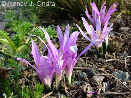 Bulbocodium vernum at Hayefield March 2012