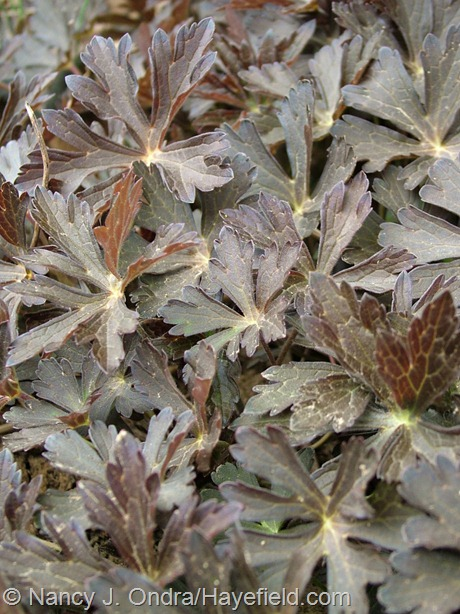 Geranium maculatum 'Espresso' foliage at Hayefield