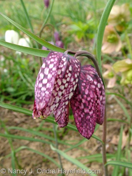 Fritillaria meleagris at Hayefield