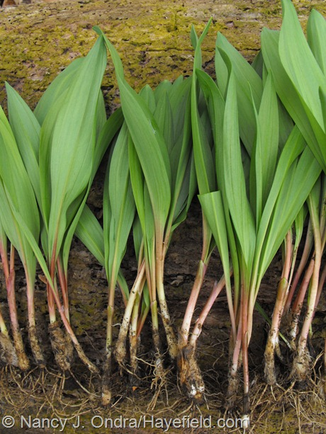 Allium tricoccum harvested