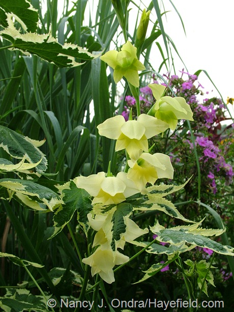 Gladiolus tristis with Abutilon 'Souvenir de Bonn' at Hayefield