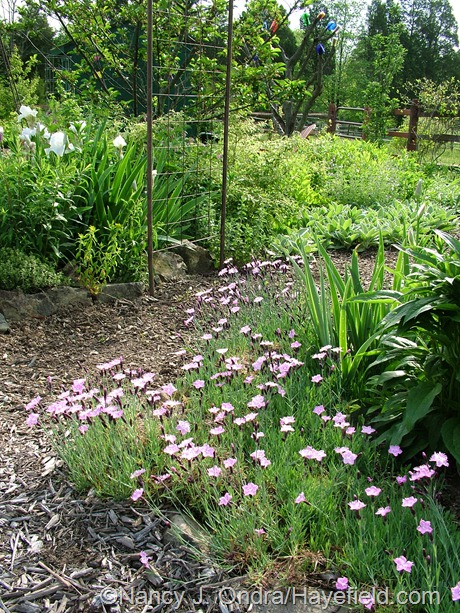 Dianthus 'Bath's Pink' at Hayefield