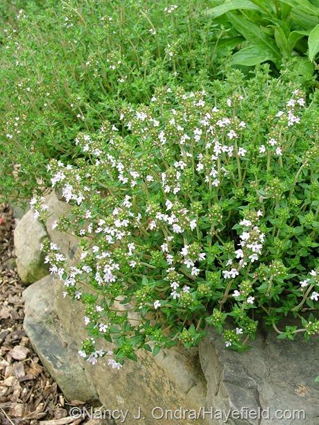 Thymus vulgaris at Hayefield