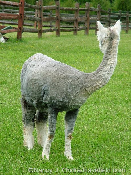 Daniel the alpaca after shearing at Hayefield