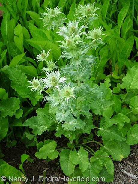 Eryngium giganteum at Hayefield