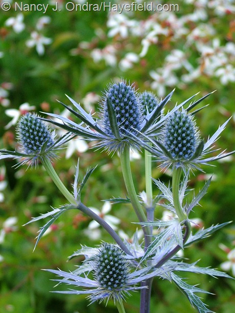 Eryngium x zabelii 'Big Blue' at Hayefield