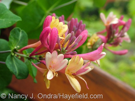 Lonicera x heckrottii 'Goldflame' at Hayefield