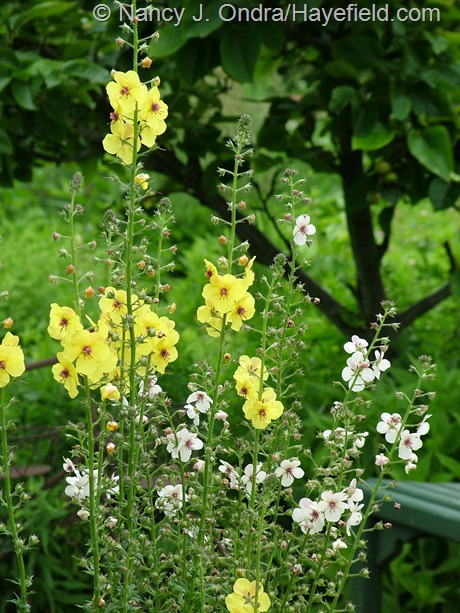 Verbascum blattarium and V. blattaria f. albiflorum at Hayefield