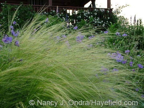 Stipa tenuissima with Gernaium 'Brookside' at Hayefield