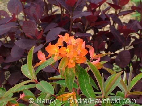 'Fireglow' Griffith's spurge (Euphorbia griffithii) against 'Velvet Cloak' smoke bush (Cotinus coggygria) at Hayefield