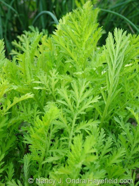 Tanacetum vulgare 'Isla Gold' at Hayefield