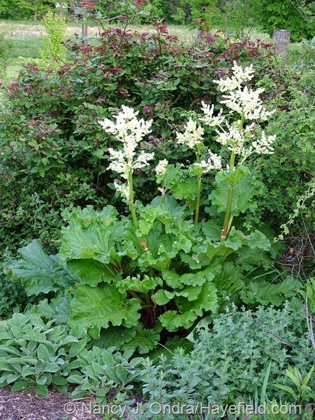 Rheum rhabarbarum (rhubarb) in bloom at Hayefield