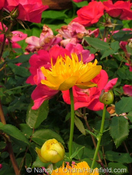 Rosa 'Radrazz' (Knock Out) with Trollius 'Golden Queen' at Hayefield