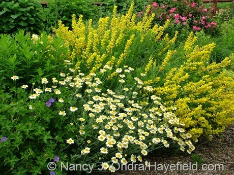 'Susanna Mitchell' marguerite daisy (Anthemis) with 'Screaming Yellow' baptisia (Baptisia sphaerocarpa) at Hayefield