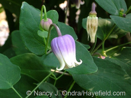 Clematis addisonii at Hayefield