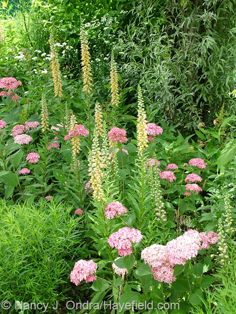 Digitalis ferruginea with Hydrangea arborescens 'NCHA1' (Invincibelle Spirit) at Hayefield