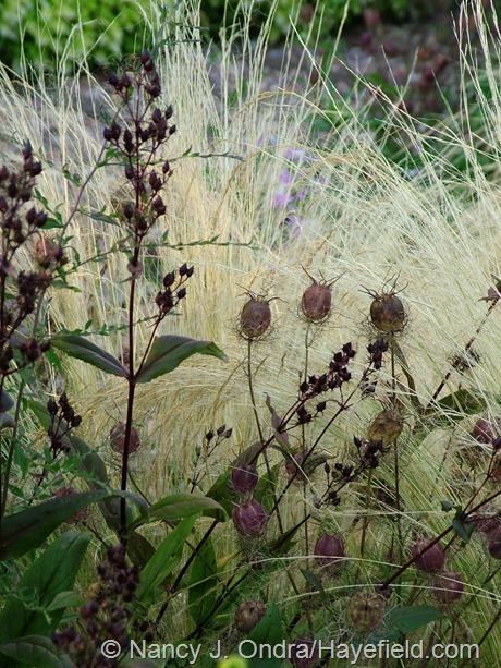 Stipa tenuissima with Nigella damascena 'Cramer's Plum' and Penstemon 'Dark Towers' seedheads at Hayefield