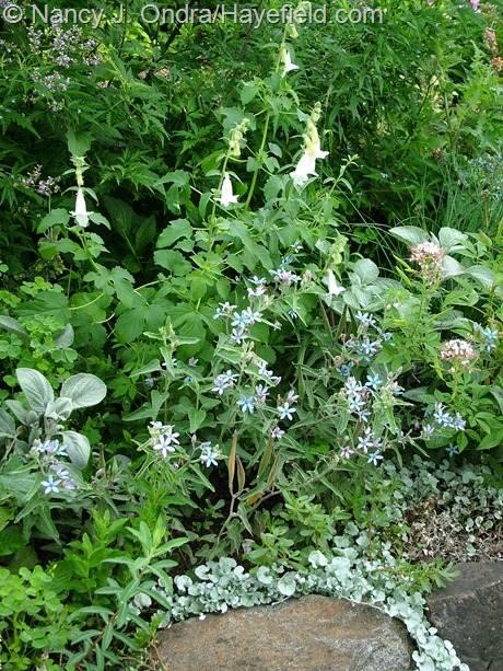 Oxypetalum caeruleum) with white South African foxglove (Ceratotheca triloba 'Alba'), silver spurflower (Plectranthus argentatus), and 'Silver Falls' ponyfoot (Dichondra argentea) at Hayefield