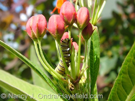 Monarch larva on Asclepias curassavica at Hayefield