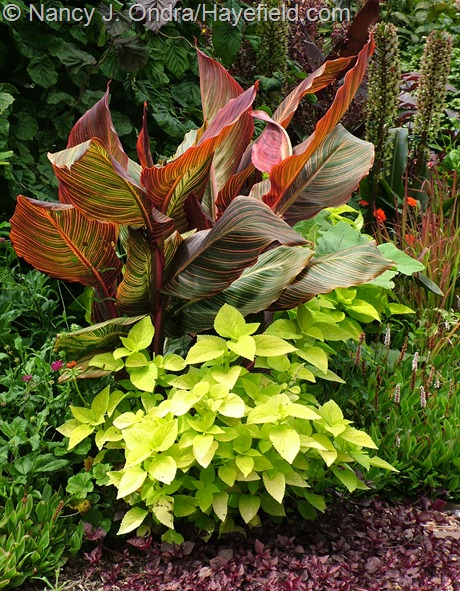 Tropicanna canna (Canna 'Phaison'), 'Lifelime' coleus, and 'Purple Lady' beefsteak plant (Iresine) at Hayefield