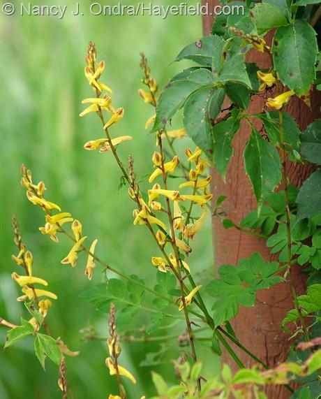 Corydalis ochotensis at Hayefield