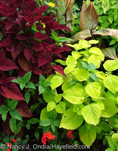 'Big Red Judy' and 'Giant Exhibition Lime' coleus with green widow's tears (Tinantia erecta) and stripey Tropicanna canna (Canna 'Phaison') at Hayefield