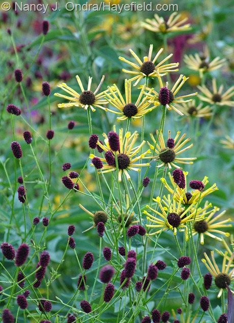 'Henry Eilers' sweet coneflower (R. subtomentosa) with great burnet (Sanguisorba officinalis) at Hayefield
