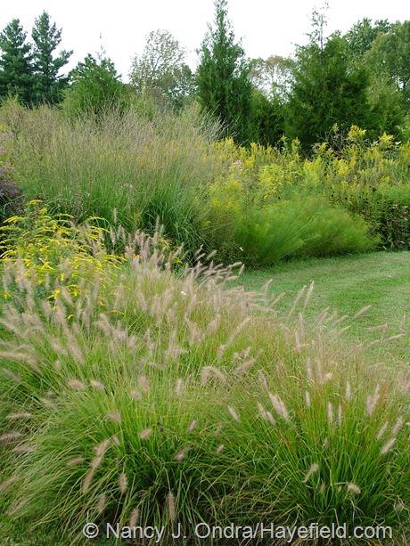 'Cassian' fountain grass (Pennisetum alopecuroides), 'Fireworks' goldenrod (Solidago rugosa), 'Skyracer' purple moor grass (Molinia caerulea), and Arkansas bluestar (Amsonia hubrichtii) at Hayefield
