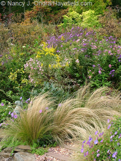 Stipa tenuissima with Symphyotrichum novae-angliae and Solidago at Hayefield